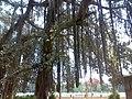 اشجار ذات جزور هوائيه القناطر الخيريه.jpg