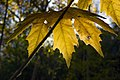 برگ زرد-پاییز-yellow leaves-falling leaves 09.jpg