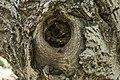 داخل درخت گردو - juglans 09.jpg