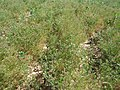زیره از محصولات عمده زراعی شهر صفی آباد.jpg