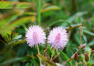 Mimosa pudica: Flowers