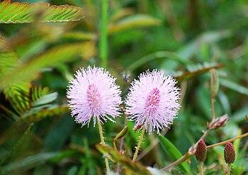 Mimosa pudica: Flowers