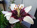 亞洲百合 Lilium Tiny Padhye -溫哥華植物園 VanDusen Botanical Garden, Vancouver- (9252396427).jpg