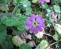 報春花 Primula malacoides -比利時國家植物園 Belgium National Botanic Garden- (9198133299).jpg