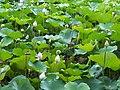 夏荷 Summer Lotus - panoramio.jpg