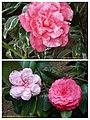 山茶花 Camellia japonica cultivars -香港公園 Hong Kong Park- (37626743935).jpg