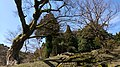 峰山陣屋跡のエノキ7.jpg