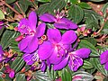 巴西野牡丹 Tibouchina semidecandra -香港動植物公園 Hong Kong Botanical Garden- (9198128931).jpg