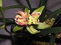 建蘭多舌多鼻奇花 Cymbidium ensifolium Odd-series -香港沙田國蘭展 Shatin Orchid Show, Hong Kong- (9255192044).jpg