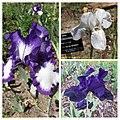 德國鳶尾-高大型 Iris germanica Tall-bearded cultivars -波蘭華沙 Powsin PAN Botanical Garden, Warsaw- (35729001444).jpg