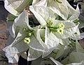 新加坡大白花光葉子花 Bougainvillea glabra 'Singapore White' -深圳蓮花山公園 Shenzhen Lianhuashan Park, China- (11203924614).jpg
