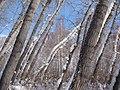 桦林公园非常奇怪的歪杨树林(背景的桦树是自立的) 余华峰 - panoramio.jpg