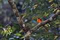 紅山椒鳥 (39210856292).jpg