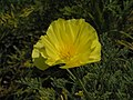 花菱草 Eschscholzia californica (Eschscholtzia californica) -上海共青森林公園 Shanghai, China- (9213341037).jpg