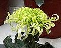 菊花-卷散型 Chrysanthemum morifolium Curlies-spoon-series -上海共青森林公園 Shanghai, China- (9237445643).jpg