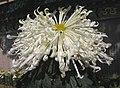 菊花-白龍爪 Chrysanthemum morifolium 'White Dragon Claw' -香港圓玄學院 Hong Kong Yuen Yuen Institute- (12010749836).jpg