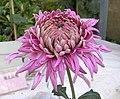 菊花-蓮座型 Chrysanthemum morifolium Lotus-plate-tubular-series -香港圓玄學院 Hong Kong Yuen Yuen Institute- (11584888055).jpg