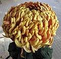 菊花-金繡球 Chrysanthemum morifolium 'Golden Embroidered Ball' -香港圓玄學院 Hong Kong Yuen Yuen Institute- (12099280993).jpg