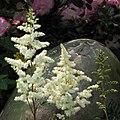 落新婦 Astilbe chinensis -香港花展 Hong Kong Flower Show- (41042942931).jpg