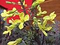 葉牡丹(羽衣甘藍) Brassica oleracea v acephala Spider Web -香港花展 Hong Kong Flower Show- (9216114866).jpg