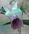 蝸殼蘭 Cochleanthes Moliere -香港北區花鳥蟲魚展 North District Flower Show, Hong Kong- (24189345835).jpg