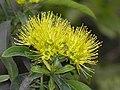 金蒲桃 Xanthostemon chrysanthus -香港動植物公園 Hong Kong Botanical Garden- (9216111842).jpg