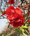 長壽冠海棠-情思 Chaenomeles x superba 'Longevity Champion' -南京莫愁湖 Nanjing Mochou Lake, China- (33582448436).jpg