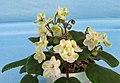 非洲紫羅蘭 Saintpaulia Emerald City -香港北區花鳥蟲魚展 North District Flower Show, Hong Kong- (31845236856).jpg