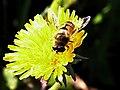食蚜蠅 Phytomia sp. - panoramio.jpg