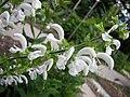 鼠尾草屬 Salvia pratensis 'Alba' -哥本哈根大學植物園 Copenhagen University Botanical Garden- (36932495096).jpg