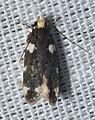 - 2204 – Fascista cercerisella – Redbud Leaffolder Moth (19122051771).jpg