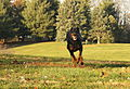 01 My Dobermann Kitty Running.jpg
