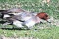 026 - EURASIAN WIGEON (1-30-13) thunderbird park, phoenix, maricopa co, az (1) (8711822442).jpg
