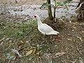 0328jfLands Culianin Ducklings Plaridel Bulacan Cattle Fieldsfvf 19.JPG