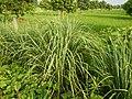 0369jfPulilan Balatong Manggo Fields grass Bulacanfvf 32.JPG