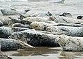 072514 harbor seals alsea bay odfw (14953206829).jpg