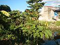 07875jfSenna alata flowers Cassia alata L. ringworm bush Philippinesfvf 03.jpg