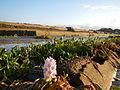 09645jfAngat River Dam Bay Eichhornia crassipes San Rafael Bustos Angat Bulacan villagesfvf 03.JPG