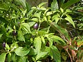 0998Ornamental plants in the Philippines 28.jpg