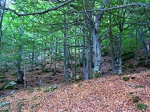 Campoo - Umbrañal beech grove (La Lomba)