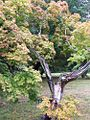 1461977 Charlotte-Autumn-Tree-2 620.jpg