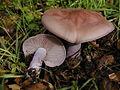 2002-12-28 Clitocybe nuda (Fr.) H.E. Bigelow & A.H. Sm 289.jpg