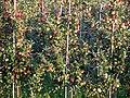 20070818065DR Tronitz+Sürßen (Dohna) Apfelplantage Borthen.jpg