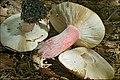 2010-10-10 Russula queletii Fr 111963.jpg