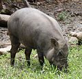 2010 07 19400 7206 Wenshan District, Taipei, Zoo, Sus scrofa taivanus, Formosan wild boar, Taiwan (cropped).JPG