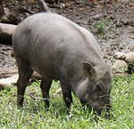 2010 07 19400 7206 Wenshan District, Taipei, Zoo, Sus scrofa taivanus, Formosan wild boar, Taiwan (cropped).JPG