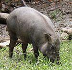 2010 07 19400 7206 Distretto di Wenshan, Taipei, zoo, Sus scrofa taivanus, cinghiale di Formosa, Taiwan (ritagliata) .JPG