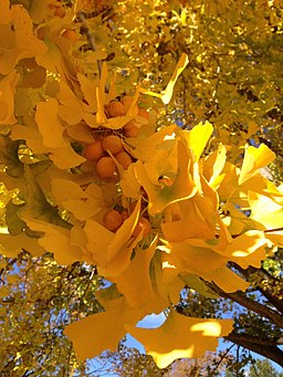 2014-11-02 12 13 29 Ginkgo foliage and fruit during autumn at the Ewing Presbyterian Church Cemetery in Ewing, New Jersey