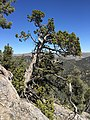 2015-04-28 12 12 41 An older Utah Juniper on the south wall of Maverick Canyon, Nevada.jpg