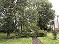 2015-06-18 17 11 17 Large branch broken off of a Bradford Pear during a severe thunderstorm on Tranquility Court in the Franklin Farm section of Oak Hill, Virginia.jpg